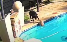 Viral: perrita salva a otro de morir ahogado en una piscina