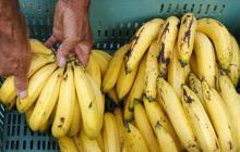 Suspenden importaciones de banano colombiano por hongo