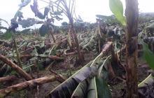 Fuertes vientos arrasan cultivos de plátano en Tierralta