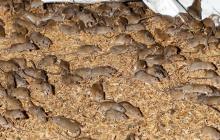 Impresionante plaga de ratones invade las cosechas en Australia