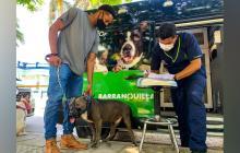 130 perros de razas de manejo especial fueron censados e identificados con chip