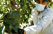 Colombiano inspira a emprender con aguacates y hortensias de exportación
