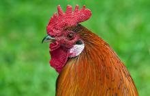 Así suena la palabra 'gallo' en el traductor de Google