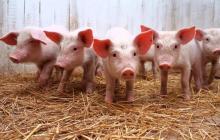 Brote de peste porcina africana se extiende a 11 provincias dominicanas