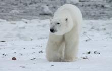 """Ejército danés amenazó con dar de baja a oso polar por """"problemático"""""""