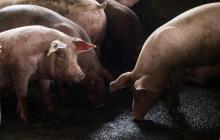 Peste porcina africana se convierte en una amenaza para América