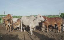 Porcicultura y ganadería, los negocios de los reincorporados en Sucre