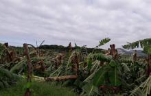 Cerca de mil hectáreas de banano afectadas por vendaval en la Zona Bananera