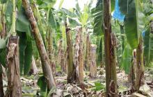 Bananeros afectados por vendaval en Magdalena piden ayuda nacional
