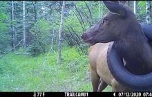 Luego de 2 años, ciervo es finalmente liberado de una llanta que llevaba en su cuello