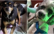 Mascotas Wasapea | 'Icaro' y 'Timón' se encuentran extraviados