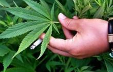 Exportar Cannabis
