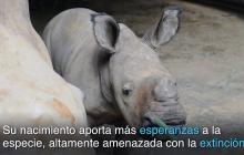 Una nueva esperanza para el rinoceronte blanco nace en Singapur