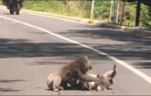 Video de dos koalas peleando en carretera de Australia enternece las redes