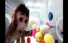 Estos son los primeros monos clonados con la técnica de la oveja Dolly