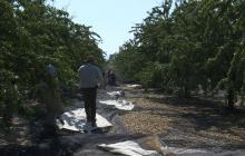 El éxito mundial de la almendra cambia el paisaje en España