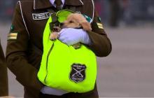 Así entrenan a cachorros para convertirse en policías en Chile