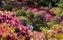 Las flores de azalea florecen ante la subida de temperaturas en Tokio