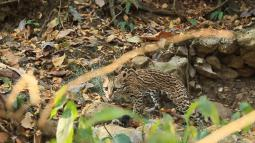Uno de los tigrillos liberados en Manaure.