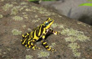 Descubren nueva especie de rana arlequín en la selva del Tapón de Darién
