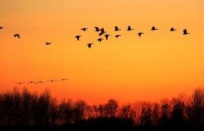Hermosas postales de gansos durante la puesta de sol