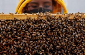 Un superalimento desarrollado en Colombia protege a las abejas de pesticidas