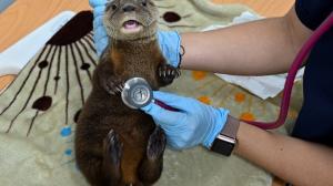 un veterinario examina una nutria de río de seis semanas de edad en la Unidad de Bienestar Animal del zoológico de Cali.