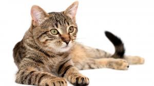 Los gatos suelen sufrir problemas digestivos cuando se les cambia la dieta.