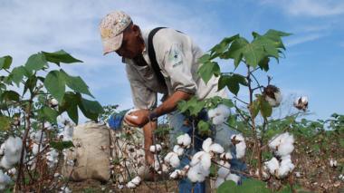 Los cultivos de algodón se han reducido, según denuncian representantes de gremios.