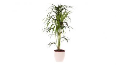 Con plantas vivas, la Arquidiócesis desea conmemorar la llegada de Jesús a Jerusalén.