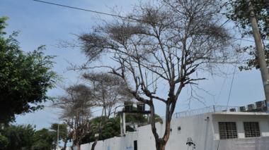 Cinco almendros totalmente destruidos por la 'pajarita' en el hospital Nazaret. En este sitio, carrera 16 con 49, otros árboles de la misma especie corren igual peligro.