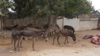 Hallan matadero de burros en Maicao