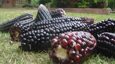 La batalla por preservar el maíz negro en San Martín, Sucre
