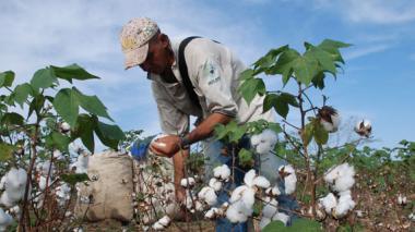 Cultivos de algodón en el Cesar.