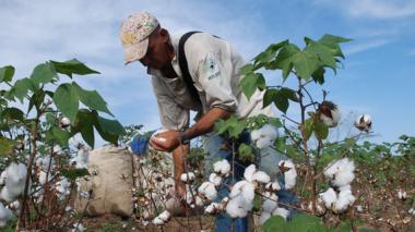 Terrenos con cultivos de algodón en el Cesar.