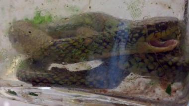 Niño de un año mata a mordiscos a serpiente venenosa en Brasil