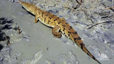 35 caimanes aguja serán liberados este sábado en La Guajira