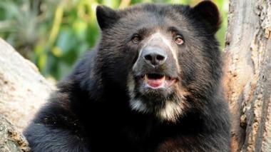 Indignación por asesinato de otro oso de anteojos en páramo de Pisba