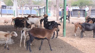 Los habitantes de la ranchería Pokoyomana crían chivos para venderlos