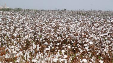 La sequía, sumado al bicho candela, terminó de agravar los resultados de la actual cosecha algodonera.