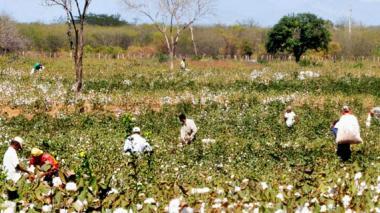 En la época dorada del algodón, a Codazzi llegaban personas procedentes de todos los rincones de Colombia para ganarse unos buenos pesos en la siembra y recolección.