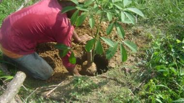 Hombre sembrando un árbol de caucho.