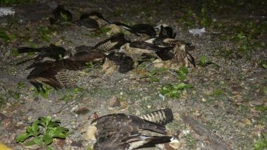Investigan muerte de 30 gavilanes en el Parque de La Marina, en Cartagena