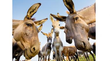 ¿Tráfico de piel de burros costeños a China?