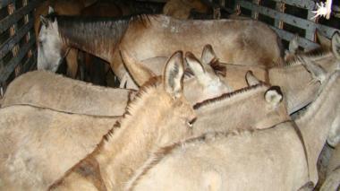 Exportación a China de 28 toneladas de piel de burro alerta al ICA