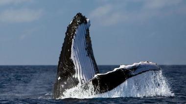 El Atlántico Sur ha sido el océano de mayor caza de ballenas.