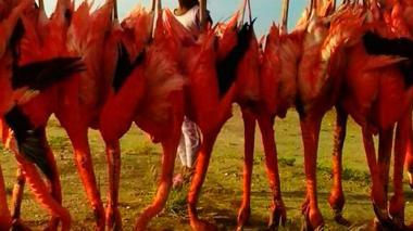 Preocupación por mortandad de flamencos en la Alta Guajira