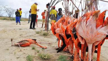 50 flamencos mueren al chocar con cables en la Alta Guajira