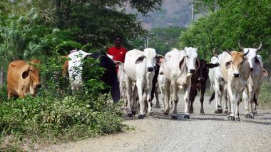 Lote de ganado en vía de Campo de la Cruz