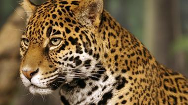 El jaguar, en peligro crítico de extinción: solo quedan 64.000 ejemplares
